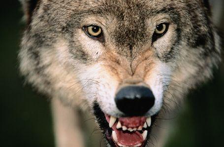 2008-02-15-wolf.jpg