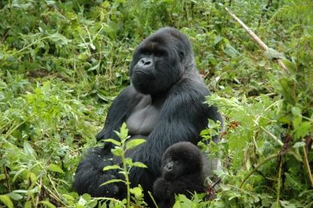 2008-07-14-Silverbacks in Rwanda Where Fossey Worked-silverbacks.JPG
