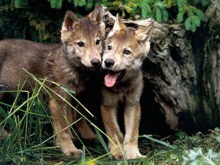 2008-09-06-wolf_pups021024x7682.jpg