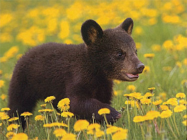 Image result for bear cub in yellow flowers