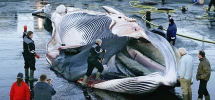 2009-02-18-whale_corpseICELAND.jpg