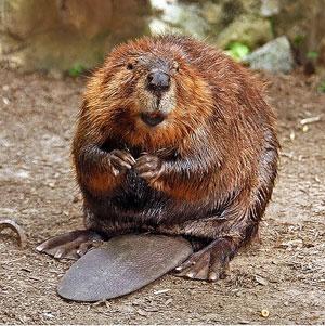 2009-03-18-beaver.jpg