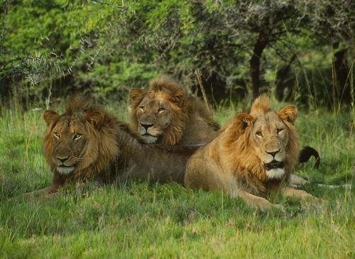 2009-04-23-Lions-HunterlionTrioLOREZsmall.jpg