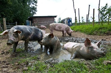 2009-05-01-pigs.jpg