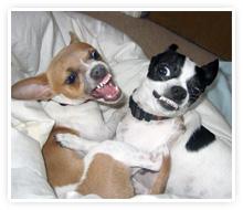 2009-05-06-chihuahuas.jpg