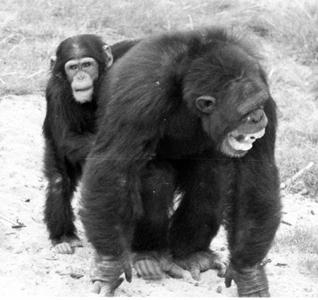 2009-07-12-chimps.jpg