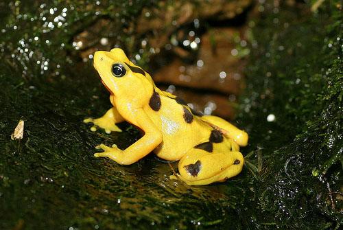 panamanian gold frog photo