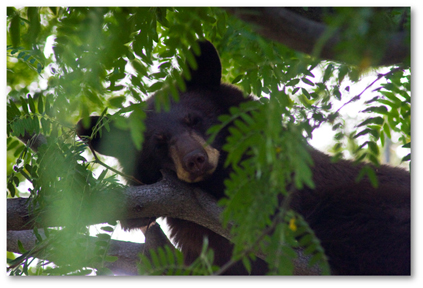 2009-09-17-BearCub36x4shadowed.jpg