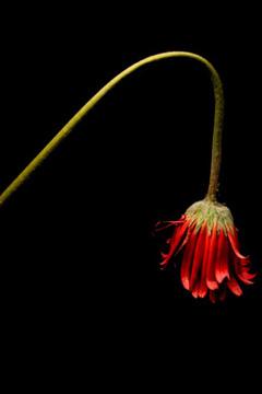 2009-10-10-dyingflower240.jpg