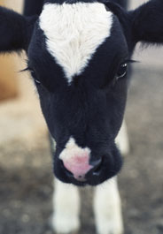 Calf face photo credit iStockphoto