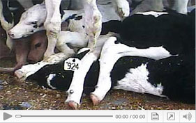 View footage from HSUS undercover investigation exposing abuse of veal calves