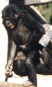2009-11-03-bonobos.jpg
