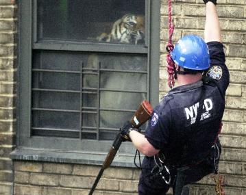2009-11-11-Tiger_in_New_York_City_x.jpg