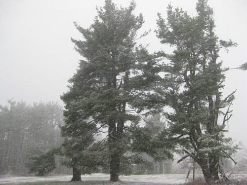 2009-12-07-Pinesinthesnow.JPG