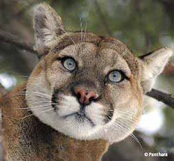 2009-12-18-Cougar_NewsletterFormat.jpg