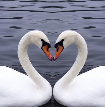 2010-01-14-swans.jpg