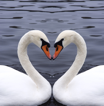 http://images.huffingtonpost.com/2010-01-14-swans.jpg