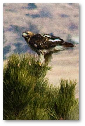 2010-02-05-SpringbrookRedTailedHawk16x4shadowed.jpg