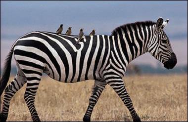 2010-02-09-zebra.jpg