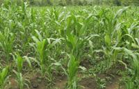 2010-04-19-corn1.jpg