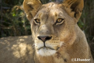 2010-05-05-Lioness_LHunter_copyright.jpg