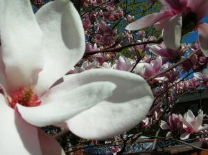 2010-05-07-719639_magnolia_1.jpg