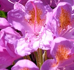 2010-05-23-rhododendrons.JPG
