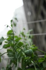 2010-05-30-tiny_peas.jpg