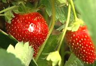 2010-06-21-strawberries.jpg