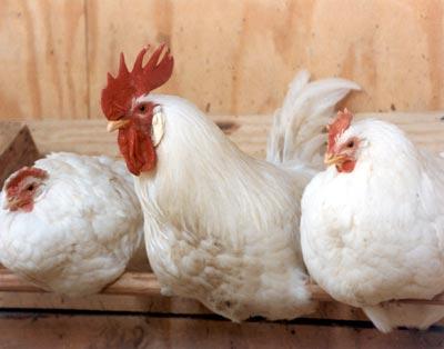 2010-06-24-3chickens.jpg