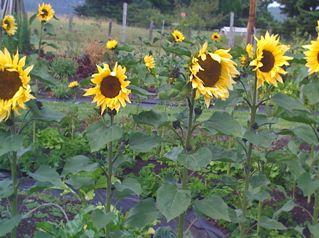 2010-07-17-RSsunflowers.jpg