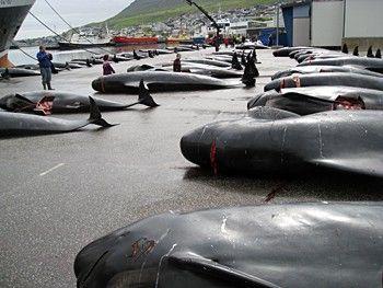 2010-07-27-dock100720_1_7_Faeroes_Mass_Slaughter_1559.jpg