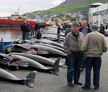 2010-07-27-news_100720_1_6_Faeroes_Mass_Slaughter_1562.jpg