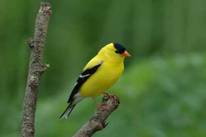 2010-08-11-goldfinch.jpg