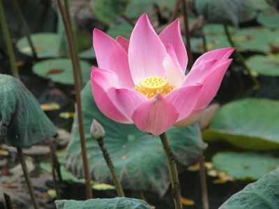 2010-08-14-LotusFlower.jpg
