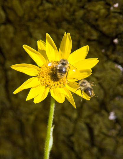 2010-09-24-BeesonHeartleafArnicaArnicacordifoliaforHuffingtonPost.jpg