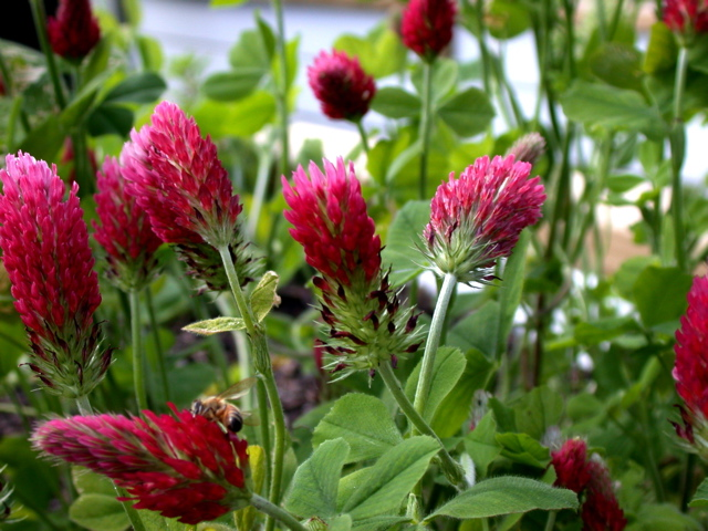 2010-10-05-crimsonclover.jpg