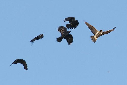 2010-10-26-crowsmobhawk.jpg