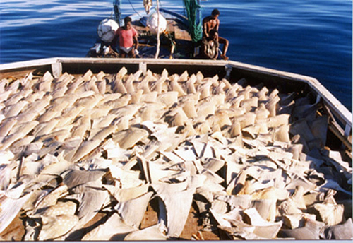 2010-10-29-Shark_Fins_Drying_on_Deck.jpg