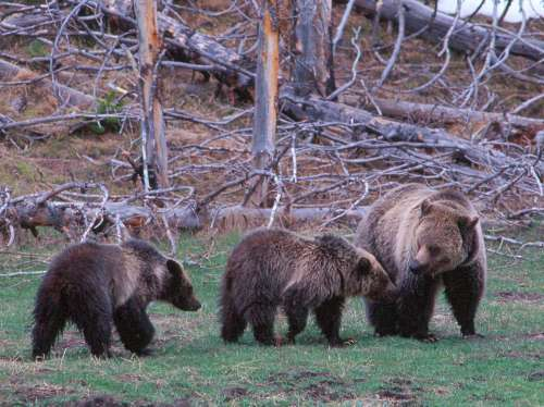 2010-11-11-YNP_grizzly_family.jpg