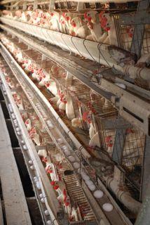 2010-11-22-100000chickens.jpg