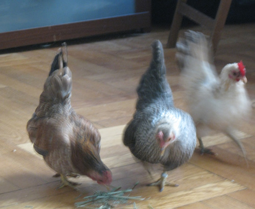 2010-12-02-Chicken22.jpg