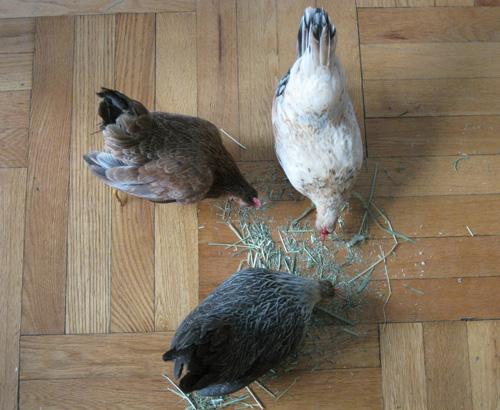 2010-12-02-Chicken25.jpg