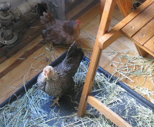 2010-12-02-Chicken29.jpg