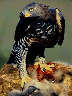 2010-12-16-Crowned_Eagle.jpg