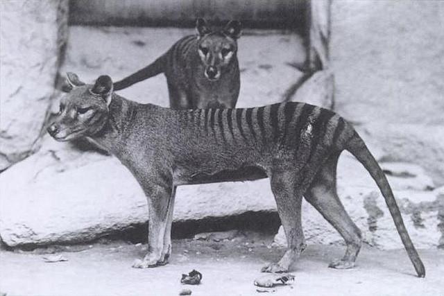 2010-12-31-ThylacinesFLICKR.jpg