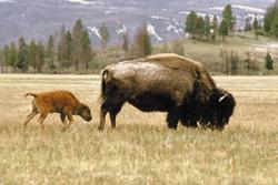 2011-01-11-Buffalo3.jpg
