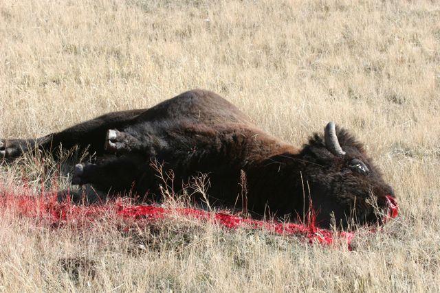 2011-01-11-deadbuffalo.jpg