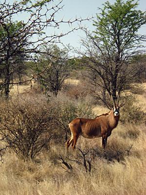 2011-02-02-SAantelope.jpg