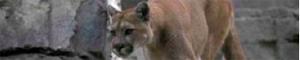 2011-02-09-cougar.jpg